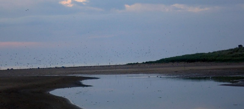 Tern colony rises in a dawn alarm at the estuary