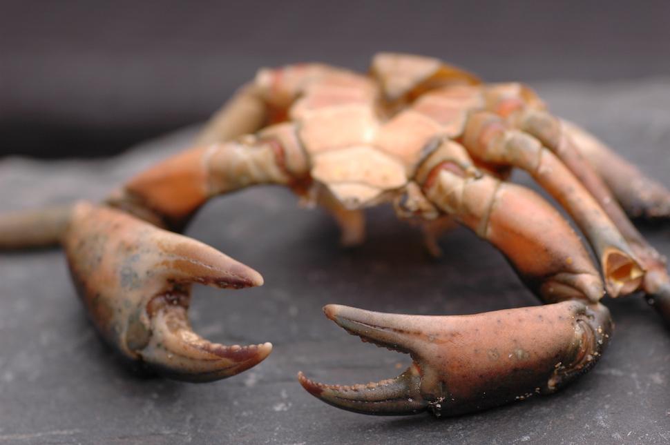 crab-macro