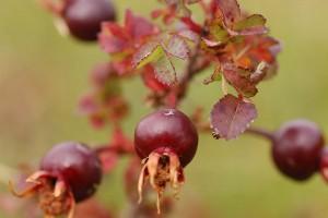 burnet-rose